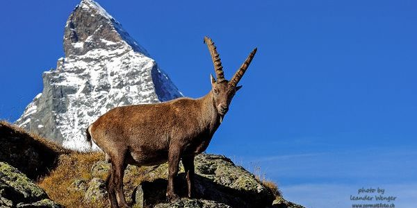 Capricorn in front of Matterhorn Zermatt Switzerland